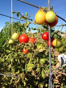 Community Garden Tomatoes